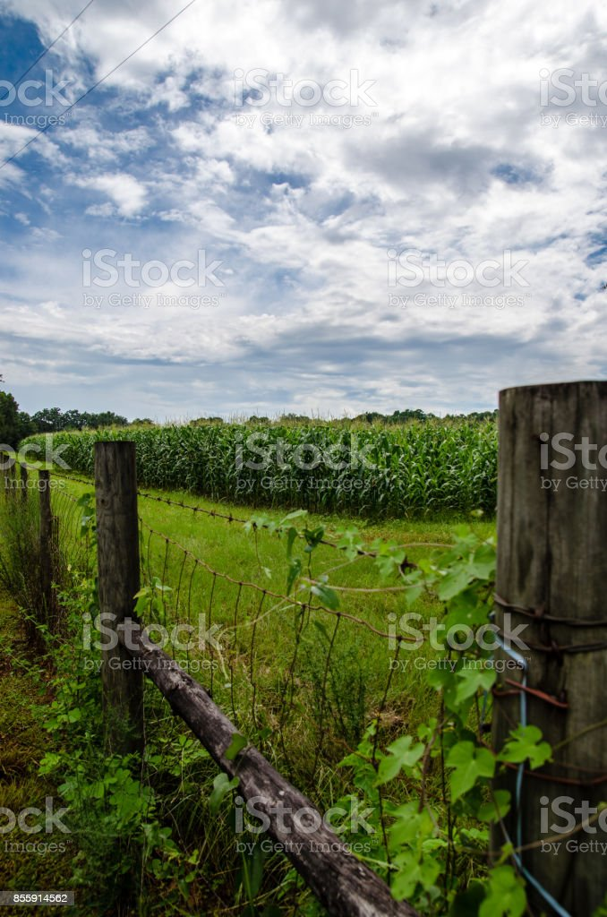 Florida Corn Fields stock photo