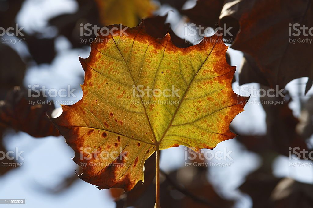 florida fall foliage maple leaf changing color in florida during fall Autumn Stock Photo