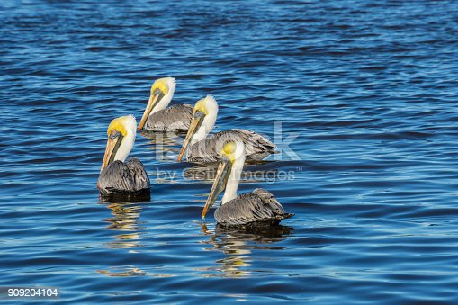 USA, Florida, Four brown pelicans swimming in the water in warm sunlight