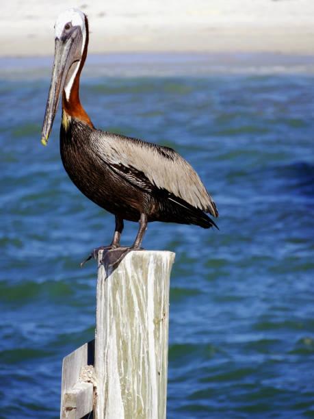 Florida Gray Pelican stock photo
