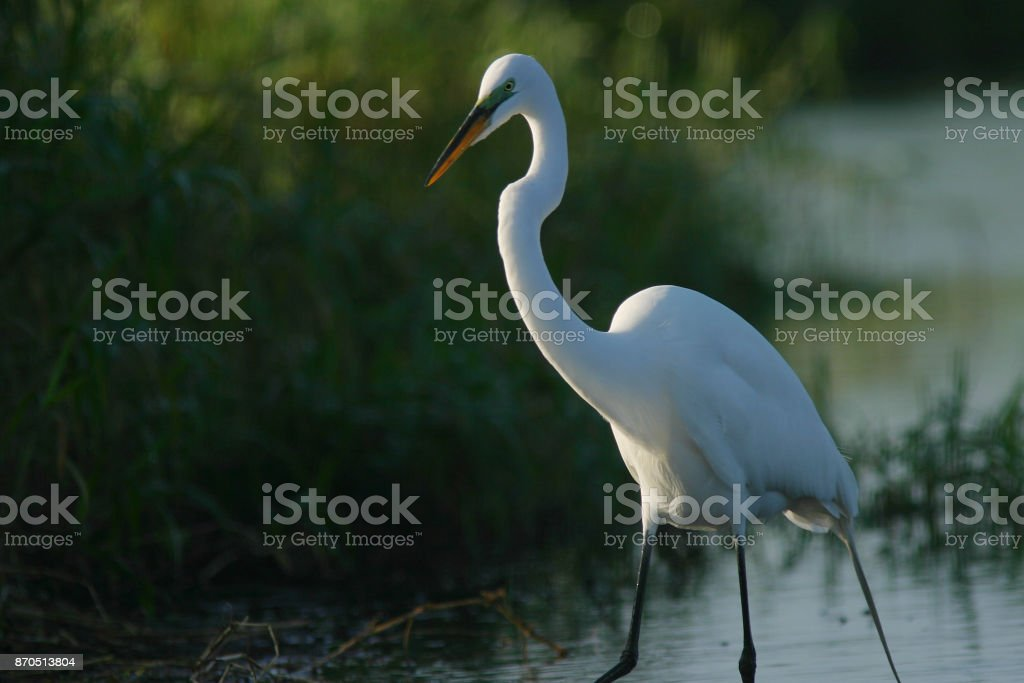 Florida Great White Egret stock photo