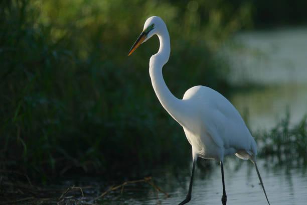 Florida Great White Egret stock photo