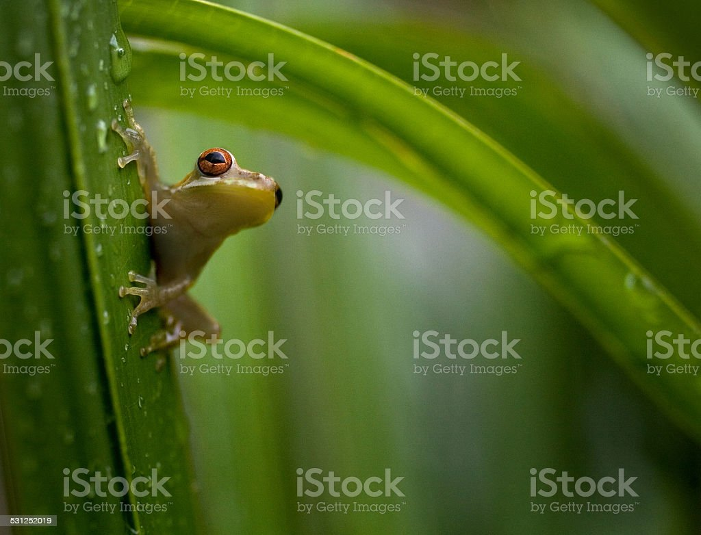 Florida Green Tree Frog on Palm Frond stock photo