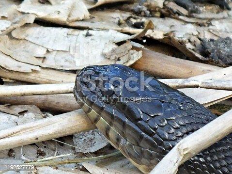 Florida Green Water Snake is non-venomous