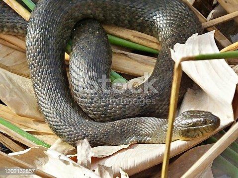 Florida Green Water Snake - profile