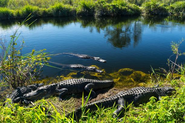 USA, Florida, troupeau de crocodiles, profiter du soleil dans le parc national des everglades - Photo