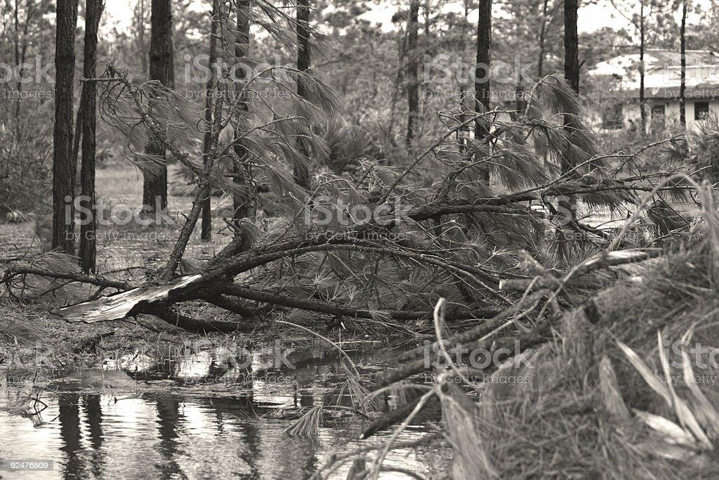 Florida: Hurricane Damaged Trees royalty-free stock photo