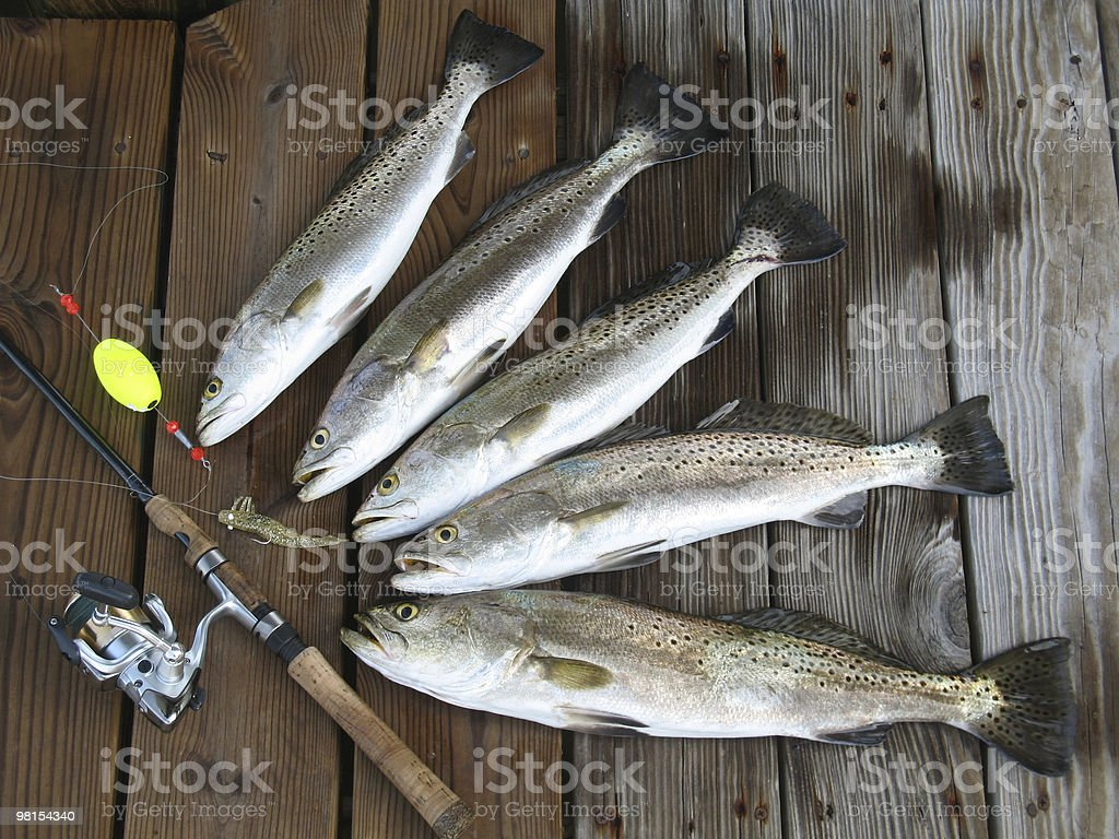 Florida Limit of Speckle Trout Fish royalty-free stock photo