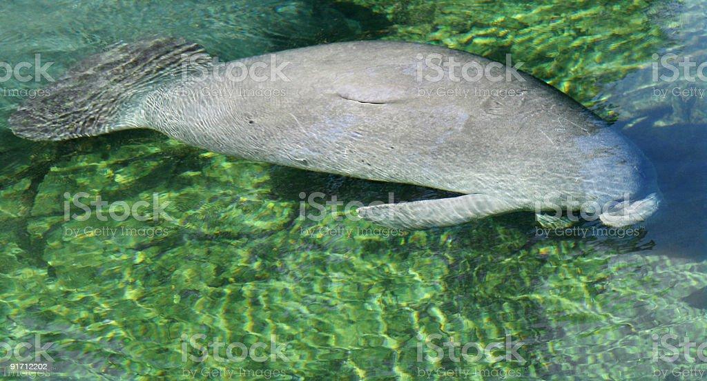 Florida manatee calf stock photo