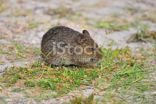 An endangered Florida mouse (also known as a big-eared deermouse, gopher mouse, Florida deermouse) forages in short grass.