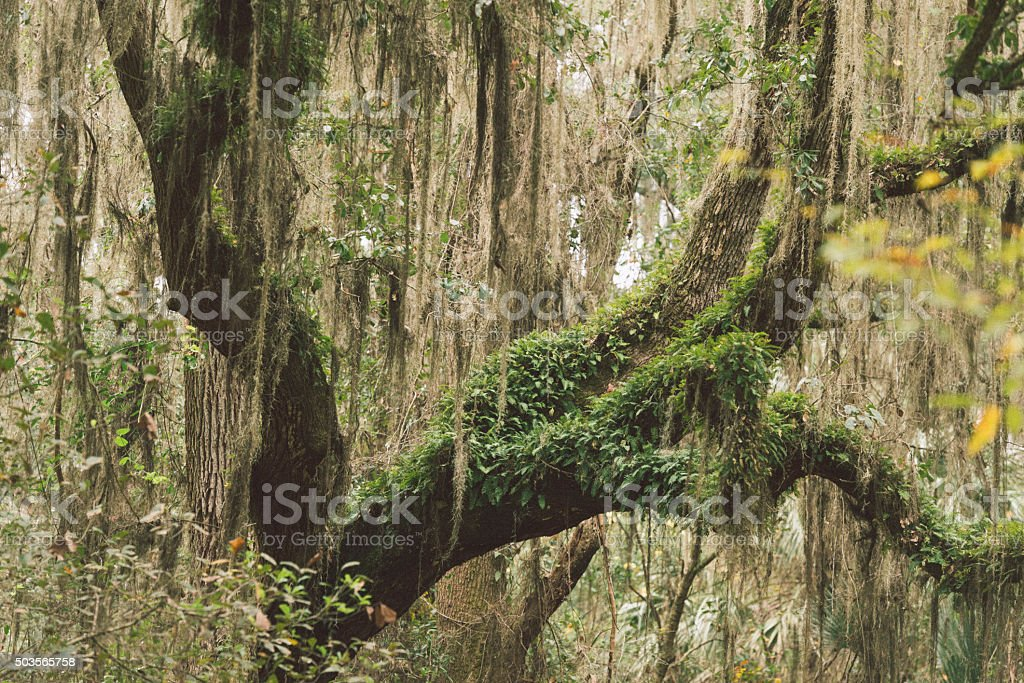 Florida Oak Tree Branches Covered with Hanging Moss and Plants stock photo