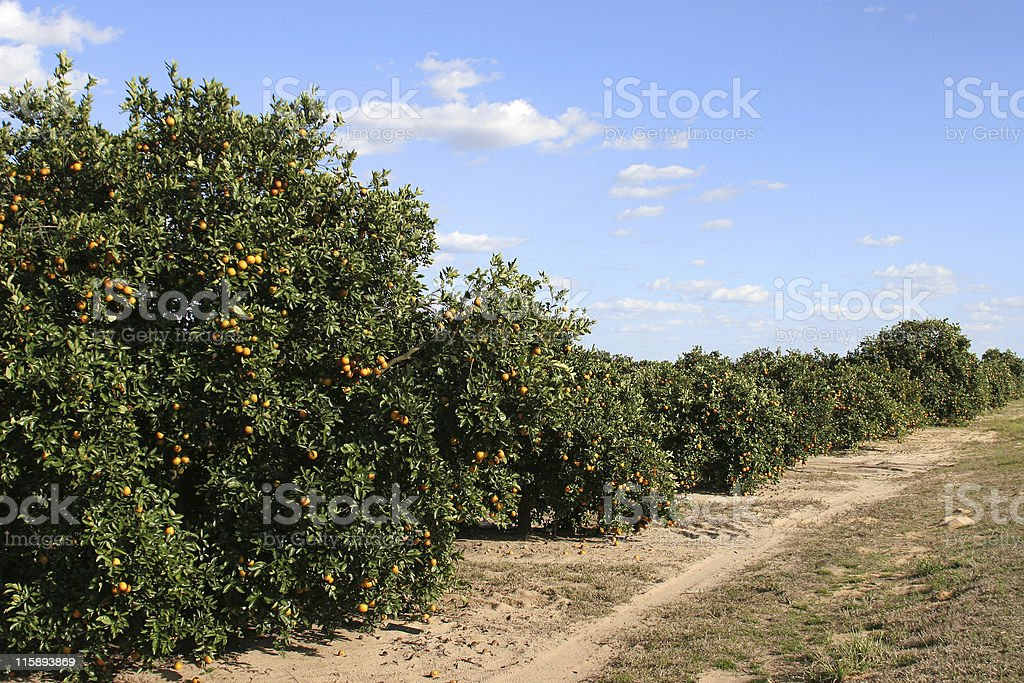 Florida Orange Crop 1 stock photo