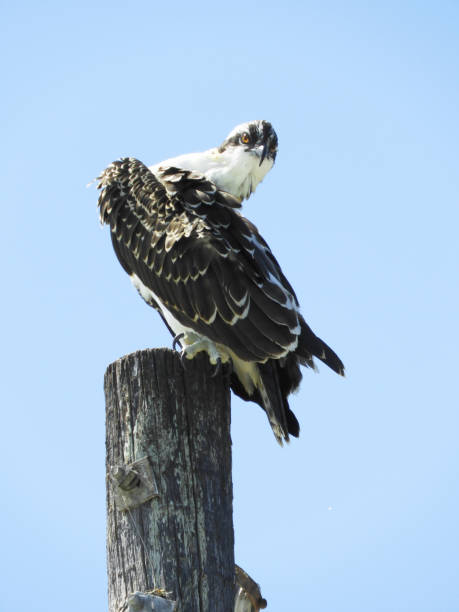 Florida Osprey on Post - Pandion haliaetus, Western Osprey, River Hawk, Sea Hawk stock photo