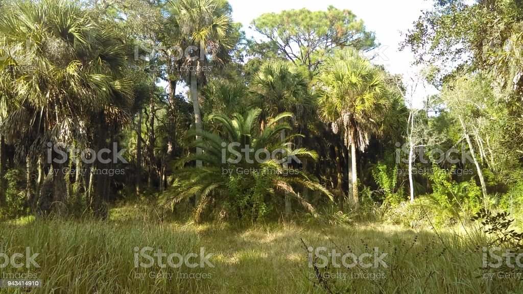 Florida Palm tree forest stock photo