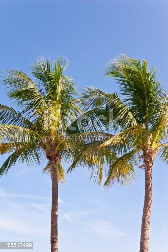 Two blooming Florida palm trees against blue sky.