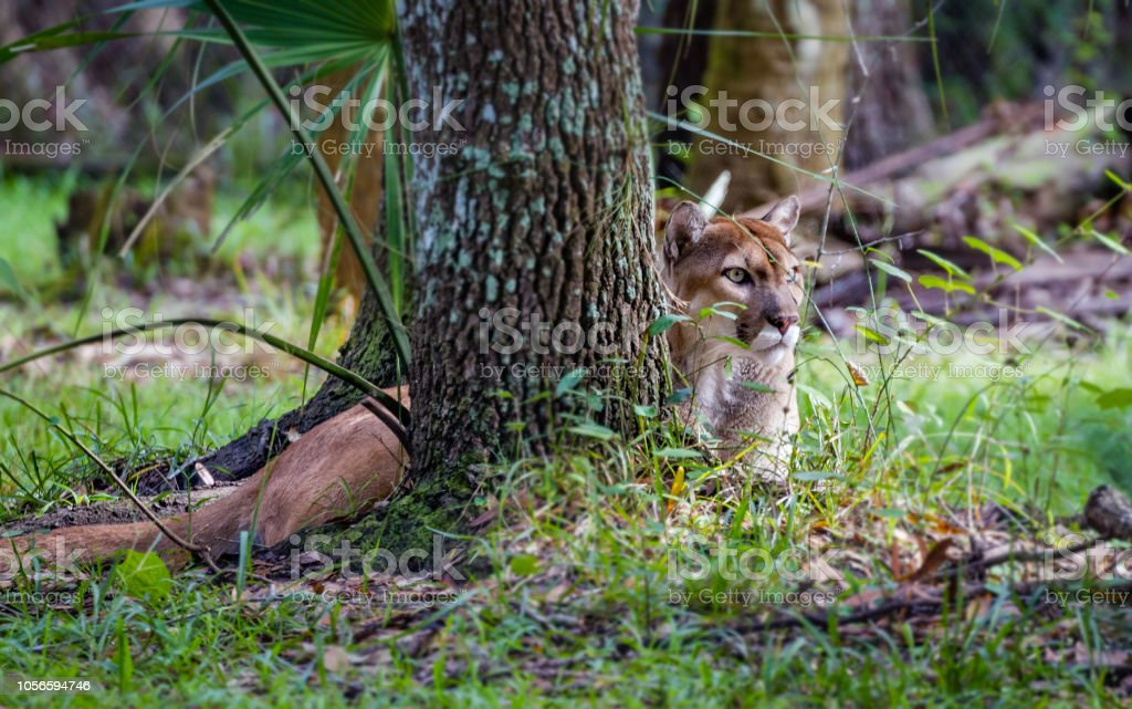 Florida Panther Close Up Black Background Stock Photo More