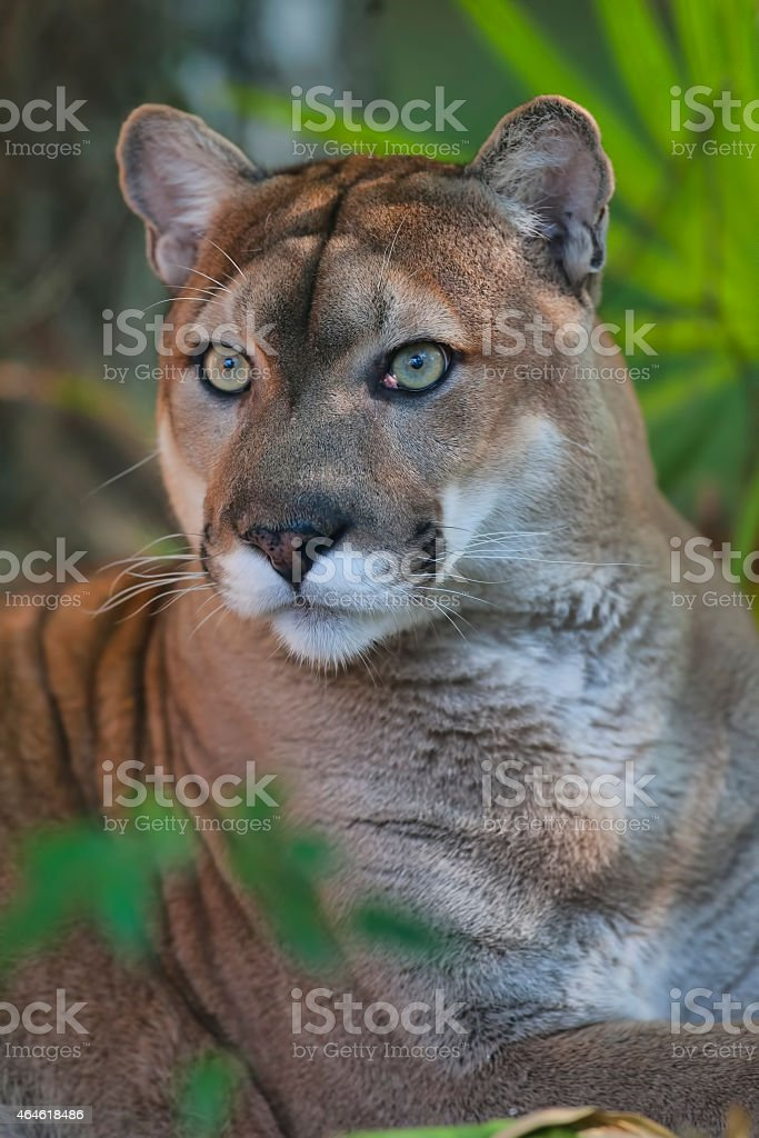 Florida Cougar Bilder