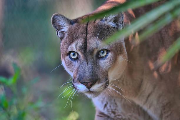 Florida Panther stock photo