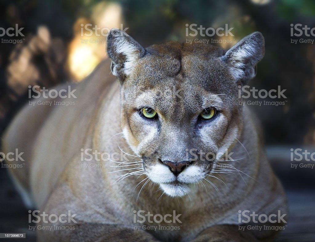 Florida Panther Stares Intensely at Camera Close Up