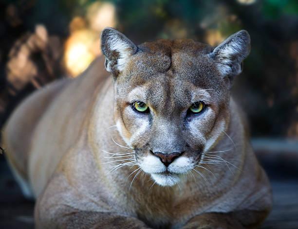 Florida Panther Stares Intensely at Camera Close Up stock photo