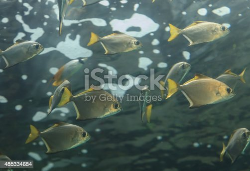 Florida pompano, Trachinotus carolinus, is a silver fish with a yellow tail and can be found in schools along the western coast of the Atlantic ocean.