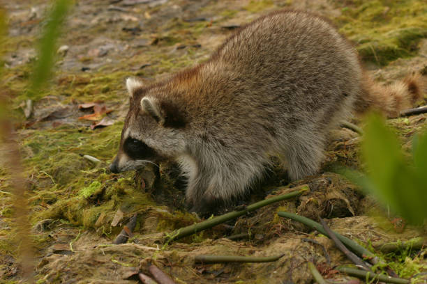Florida Raccoon stock photo