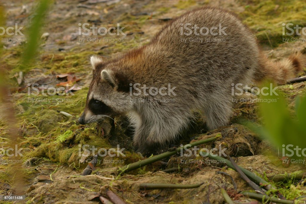 Florida Raccoon stock photo