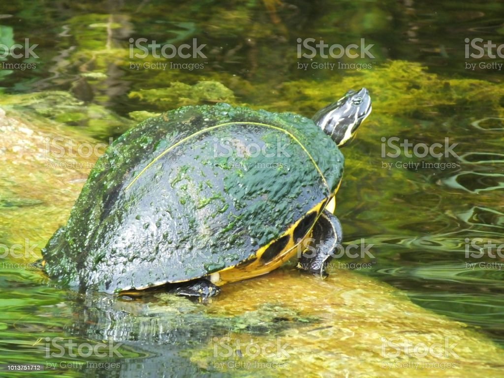 Florida Red-bellied Cooter (Pseudemys rubriventris) stock photo