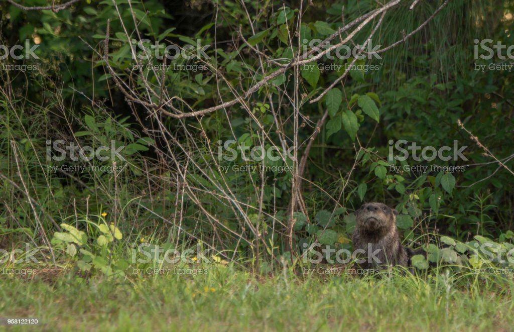 Florida River Otter in the Orlando Wetlands Park in Central Florida stock photo