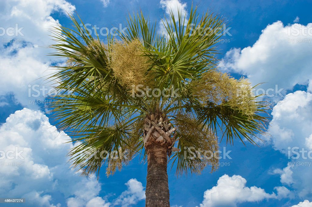 Florida Sabal Palm and Clouds stock photo