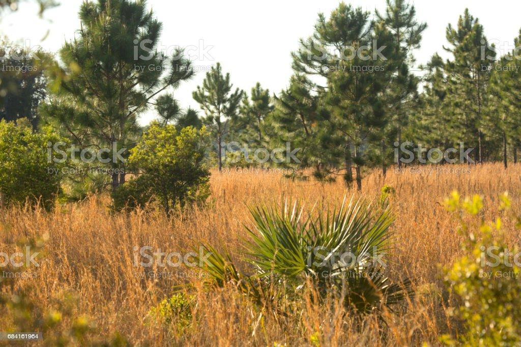 Florida scrub habitat at Lake Kissimmee State Park. royalty-free stock photo