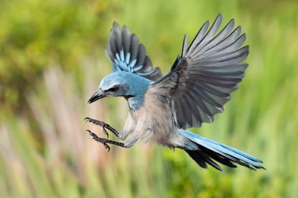 Florida scrub jay aphelocoma coerulescens endangered specie in flight picture id1151705815?b=1&k=6&m=1151705815&s=612x612&w=0&h= zvpzta zbpqvcijswk0o660 onujxdpobnh 3h3xto=