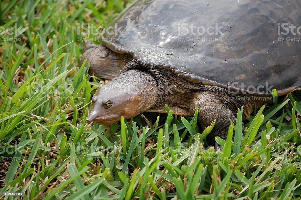 Florida Softshell Turtle stock photo
