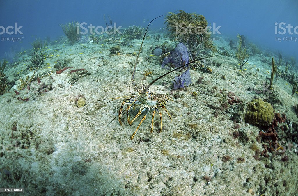 Florida spiny lobster stock photo