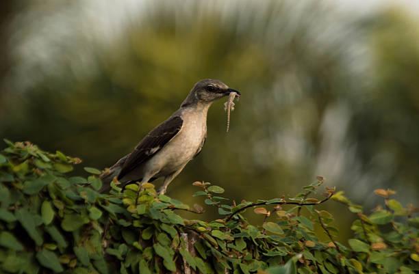 Best Florida Mockingbird Stock Photos, Pictures & Royalty
