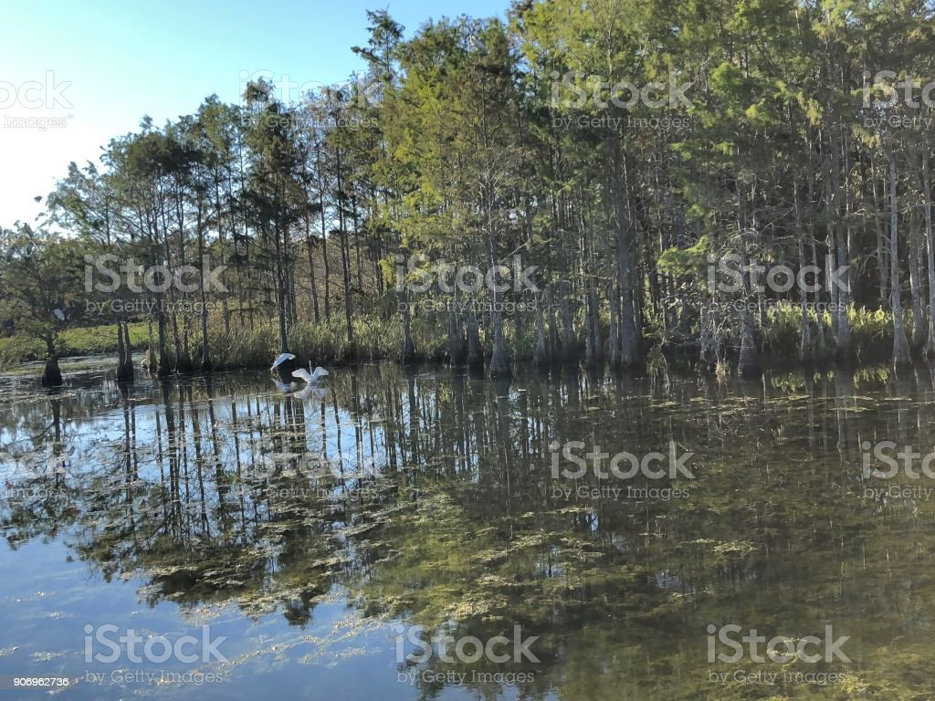 Florida swamp bird stock photo