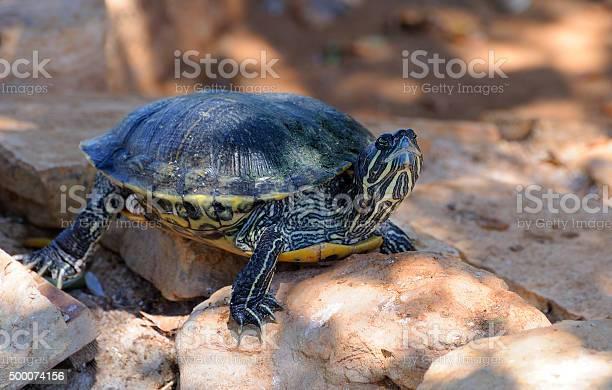 Florida turtle picture id500074156?b=1&k=6&m=500074156&s=612x612&h=43kx9tce0kcoflmtxbt6cdcqamyq1b6  f8i9h pas4=