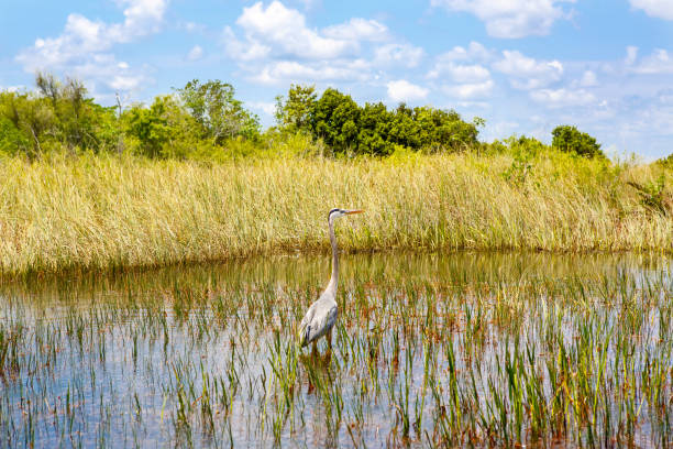 florida wetland, airboat ride at everglades national park in usa. popular place for tourists, wild nature and animals - mokradło zdjęcia i obrazy z banku zdjęć