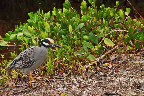 Florida Yellow-Crowned Night Heron stock photo