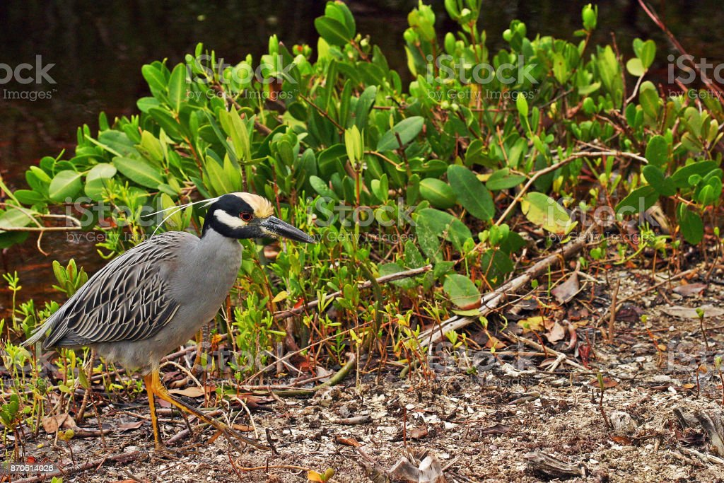 Florida Yellow-Crowned Night Heron stock photo