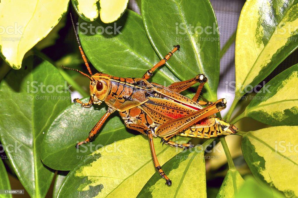 Florida's Giant Orange Lubber Grasshopper royalty-free stock photo