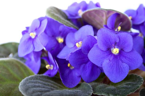 Floriferous violet on the white background stock photo