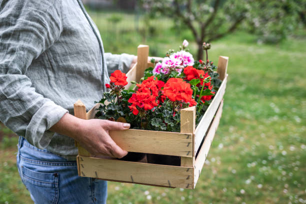 Florist holding wooden crate full of colorful geranium flowers stock photo