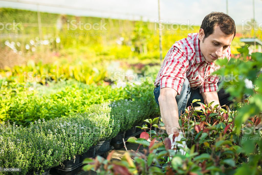 florist man preparing the flowers in the greenhouse plantation stock photo