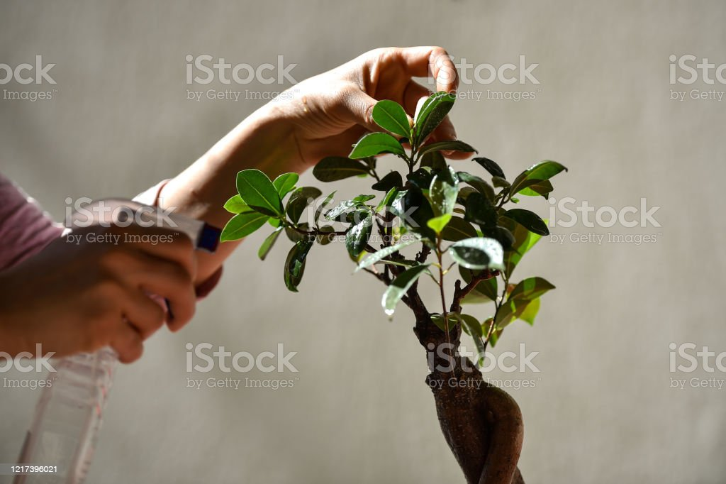 Florist Spraying Water Over A Little Bonsai Tree Placed In The Sun Stock Photo Download Image Now Istock