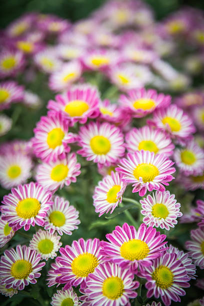 Florist's Mun flower background,pink and white flowe stock photo