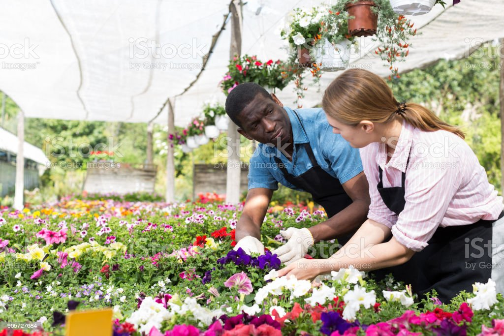 Florists working in greenhouse - Royalty-free Adult Stock Photo