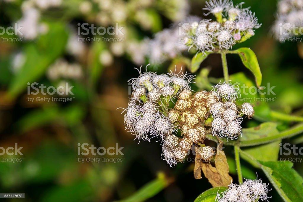 Ziehen Blumen Oder Weiß Ageratum Houstonianum Oder Muschi Fuß Oder ...