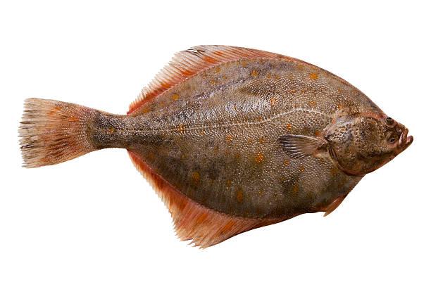 Flounder stock photo