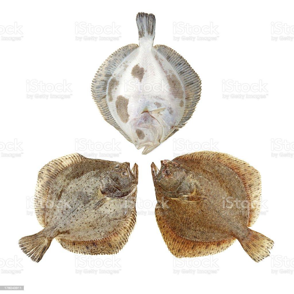 Flounder Plaice royalty-free stock photo